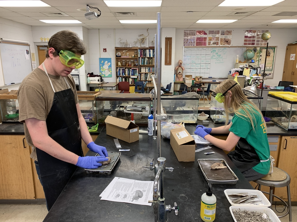Two Stu dents dissecting a sheep brain during Anatomy and Physiology lab.